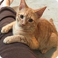 Domestic Shorthair Cat for adoption in Shelbyville, Kentucky - Troy