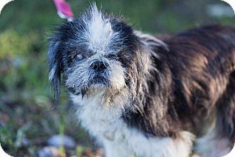 Shih Tzu Dog for adoption in Dearborn, Michigan - Margot
