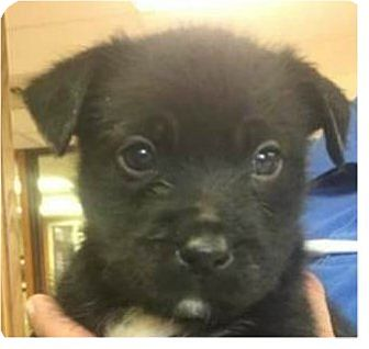 Shepherd (Unknown Type)/Terrier (Unknown Type, Medium) Mix Puppy for adoption in Springdale, Arkansas - Morgan