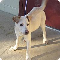 Adopt A Pet :: Abel - Rocky Mount, NC