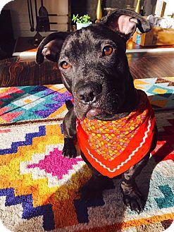 Pit Bull Terrier Mix Puppy for adoption in Sharon Center, Ohio - Munchkin
