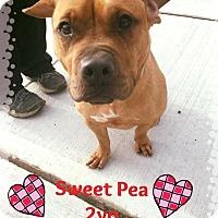 Adopt A Pet :: Foster Needed - Sweet Pea - Jackson, NJ