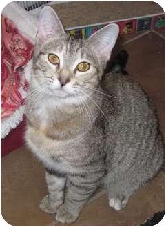 Domestic Shorthair Cat for adoption in Warren, Ohio - Caramel - PENDING