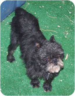 Brussels Griffon Dog for adoption in Los Angeles, California - TAD - in Phoenix, AZ