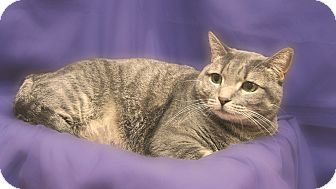 Domestic Shorthair Cat for adoption in Richmond, Virginia - Lucy