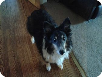 Sheltie, Shetland Sheepdog Dog for adoption in Mission, Kansas - Colin