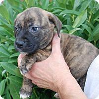 Adopt A Pet :: Robin - ADOPTION PENDING - Albany, NY