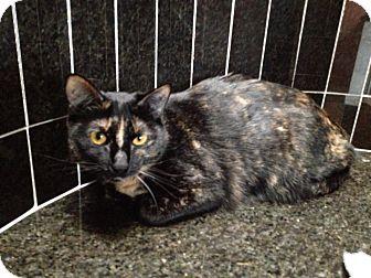 Calico Cat for adoption in Houston, Texas - Cocoa
