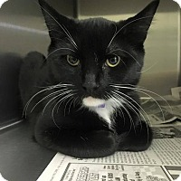 Domestic Shorthair Cat for adoption in Toms River, New Jersey - Bebe