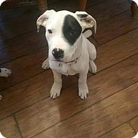 Adopt A Pet :: Bo - Sinking Spring, PA