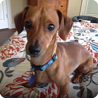 Adopt A Pet :: Picasso - Pearland, TX