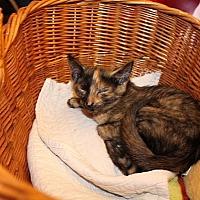 Domestic Shorthair Kitten for adoption in Tampa, Florida - Venus
