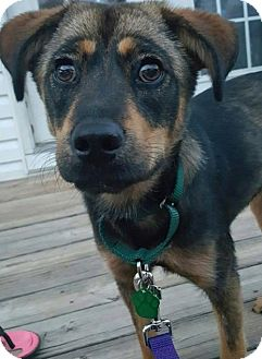 Shepherd (Unknown Type) Mix Dog for adoption in Severn, Maryland - Brinley
