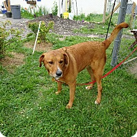 Labrador Retriever Mix Dog for adoption in Delaware, Ohio - Brandy