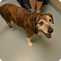 Adopt A Pet :: Brandy - St. Charles, MO