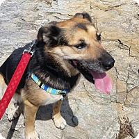 Springer Spaniel/German Shepherd Dog Mix Dog for adoption in Thomasville, North Carolina - Trixie