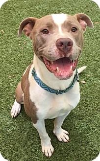 American Pit Bull Terrier Mix Dog for adoption in Titusville, Florida - Chevy