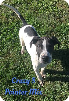 German Shorthaired Pointer Mix Puppy for adoption in Cheney, Kansas - Crazy 8