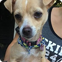 Chihuahua Mix Dog for adoption in Encino, California - Tippie