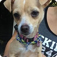 Adopt A Pet :: Tippie - Encino, CA