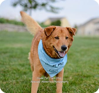Golden Retriever/Chow Chow Mix Dog for adoption in Columbus, Ohio - Red Buddy