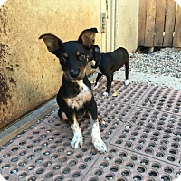 Shepherd (Unknown Type) Dog for adoption in Fort Worth, Texas - Ash