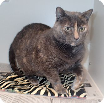 Domestic Shorthair Cat for adoption in Newport, North Carolina - Sarah