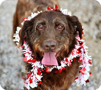 Irish Setter/Terrier (Unknown Type, Medium) Mix Dog for adoption in Cleveland, Tennessee - Isabeau