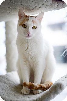 Turkish Van Cat for adoption in Sherman Oaks, California - Kane
