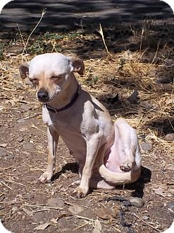 Chihuahua Mix Dog for adoption in Lodi, California - Abbey