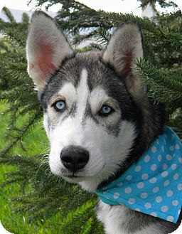 Siberian Husky Puppy for adoption in Monteregie, Quebec - Zima