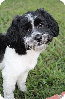 Poodle (Miniature)/Shih Tzu Mix Dog for adoption in Hagerstown, Maryland - Thunder