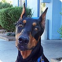 Adopt A Pet :: Koda - Las Vegas, NV