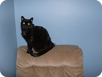 Domestic Shorthair Cat for adoption in North Middlesex, Ontario - Charcoal