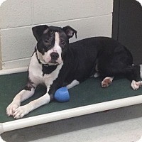 Adopt A Pet :: Tiamo  *URGENT* - Willington, CT