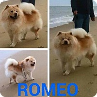 Chow Chow Dog for adoption in Dix Hills, New York - ROMEO