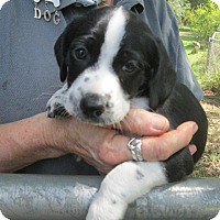 Adopt A Pet :: Benjamin - Williston Park, NY