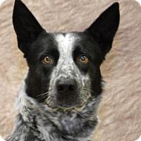 Adopt A Pet :: Ranger - Modesto, CA