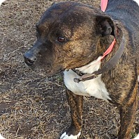 Pit Bull Terrier Mix Dog for adoption in Joplin, Missouri - Boomer
