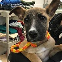 Adopt A Pet :: Millie - Palatine/Kildeer/Buffalo Grove, IL