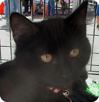 Domestic Longhair Kitten for adoption in Los Angeles, California - OLIVERIO