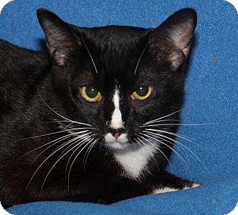 Domestic Shorthair Cat for adoption in Marietta, Ohio - Stewie (Neutered)-New Photos