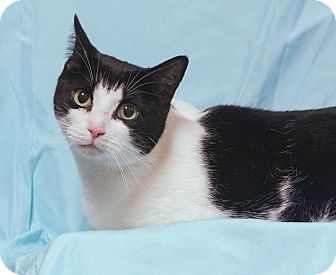 Domestic Shorthair Cat for adoption in Elmwood Park, New Jersey - Brooke