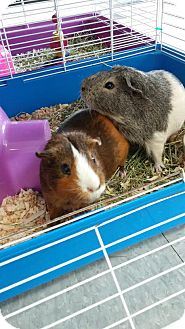 Guinea Pig for adoption in La Grange Park, Illinois - Vick