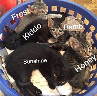 American Shorthair Kitten for adoption in Malvern, Arkansas - kittens and more kittens