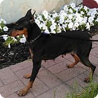 Adopt A Pet :: Sadie - Syracuse, NY