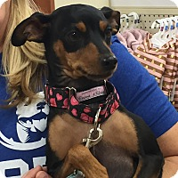 Adopt A Pet :: Sassy - Rochester, MN
