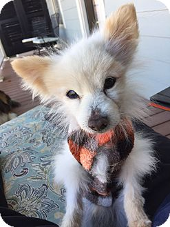 Pomeranian Mix Dog for adoption in Nashville, Tennessee - Tom the Pom