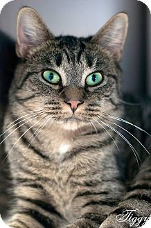 Domestic Shorthair Cat for adoption in Manahawkin, New Jersey - Tiggy