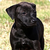 Labrador Retriever/American Pit Bull Terrier Mix Puppy for adoption in Glastonbury, Connecticut - Zena~adopted~